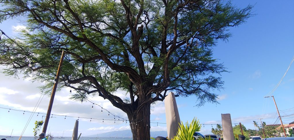 Big Tree by the Ocean at Mala Ocean Tavern on Front Street in Lahaina Maui Hawaii