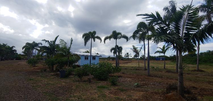 Banana tree farm in Hawaii - palm trees in Maui
