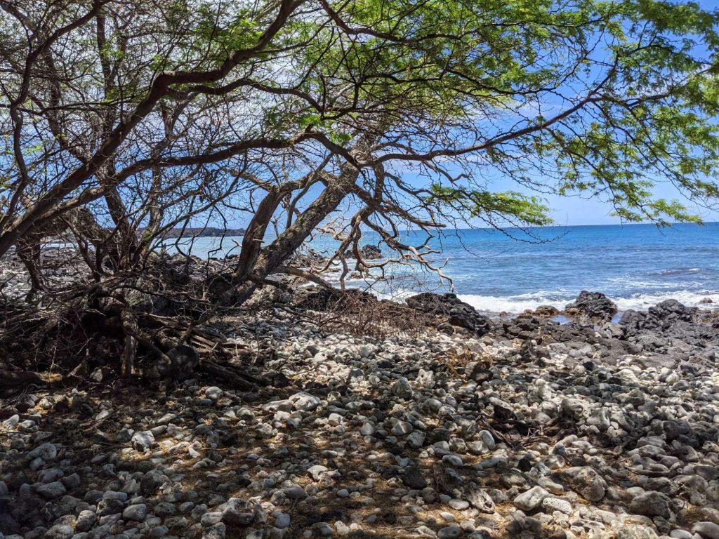 Hawaiian Kiawe tree at La Perouse Maui