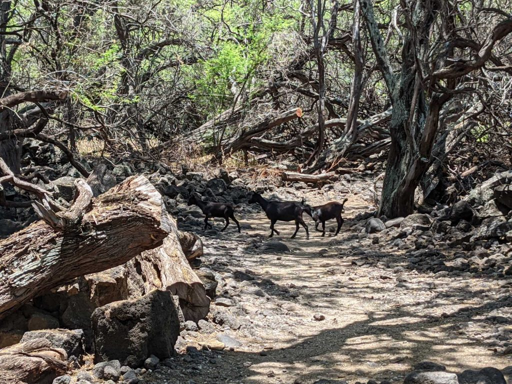 Goats crossing at La Perouse
