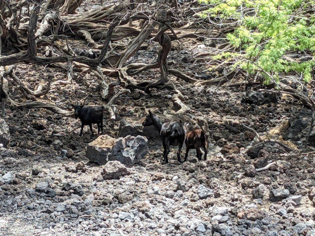 Goats at La Perouse trail in Maui Hawaii